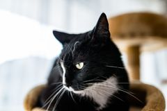 A black cat with a black and white snout, lies on a brown, cat scratcher inside the home. A black cat with a black and white snout, lies on a brown, cat royalty free stock photography
