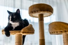 A black cat with a black and white snout, lies on a brown, cat scratcher inside the home. A black cat with a black and white snout, lies on a brown, cat royalty free stock image