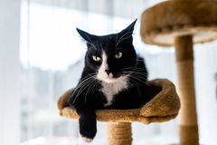 A black cat with a black and white snout, lies on a brown, cat scratcher inside the home. A black cat with a black and white snout, lies on a brown, cat stock photography