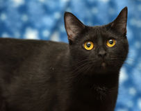 Black cat. On a blue background Royalty Free Stock Image