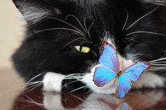 Black cat and blue butterfly Royalty Free Stock Photos
