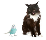 Black cat and blue parrot royalty free stock photo