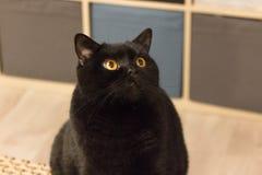 Black cat breed Scottish straight. Black cat. Cat breed Scottish straight. Pedigreed pet. Plush wool. Cute kitten. Black animal Symbol of happiness or misfortune stock photos