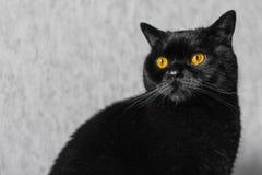 Black cat breed scottish straight stock photography