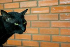 Black Cat. With brick wall background Royalty Free Stock Photo