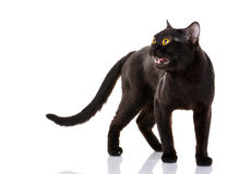 Black cat with bright yellow eyes and an open mouth on a white background. Stock Images