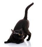 Black cat with bright yellow eyes on a white background sat in the front paws. predator style. Black cat with bright yellow eyes and an open mouth on a white Stock Photos