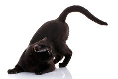 Black cat with bright yellow eyes on a white background sat in the front paws. preparing to attack. Black cat with bright yellow eyes and an open mouth on a Royalty Free Stock Images