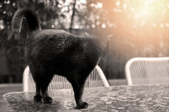 Black cat. Black British Shorthair adult cat walking on a table in the garden royalty free stock images