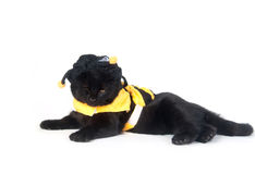 Black cat in bumblebee outfit Stock Images