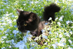 Black cat in the bush of foget-me-not Stock Images