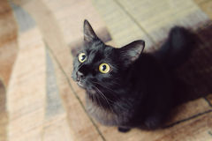 Black Cat on Carpet Royalty Free Stock Photos
