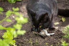 Black cat caught a bird closeup.  Royalty Free Stock Photos