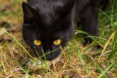 Black cat caught a bird closeup. Black cat portrait with yellow eyes caught a bird closeup Stock Photo