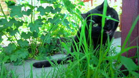 Black cat chewing grass stock video footage