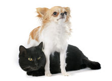 Black cat and chihuahua Stock Images