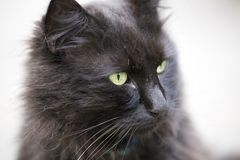 Black Cat Close Up Stock Photography