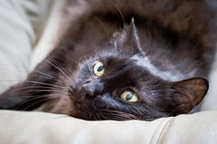 Black cat. Close-up on a lying black cat with light green eyes Royalty Free Stock Photos