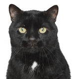 Black cat close-up portrait Royalty Free Stock Photography