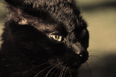 Black cat. Close up of a black cat in the sun Royalty Free Stock Photos
