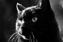 Black cat. Close up of a black cat in the sun in black and white Stock Images