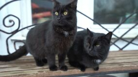 Two funny cute domestic black cat playing on the bench outdoors, resting relaxing, funny tails, green eyes. Black cat close up and yellow eyes stock footage