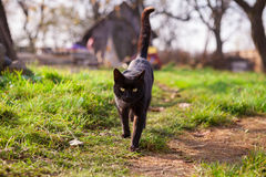 Black cat. Black confident cat walking in garden on green grass on sunny day royalty free stock photography