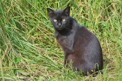 Black cat. The black cat is considered from the beginning of time as a magical animal Stock Image