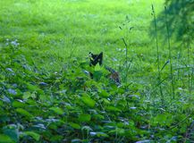 Black Cat contrasted against the bright green brush, and green eye. A shy black cat peaks out of the green brush to reveal a matching color green eye. In an Stock Photography