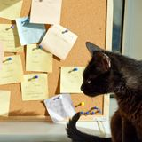 Black cat and cork note board. Back size with pinned messages Royalty Free Stock Photos