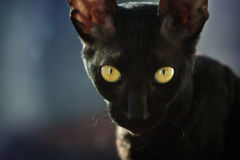 Black cat. Black cornish rex cat with yellow eyes Royalty Free Stock Photos