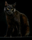 Black cat. On dark background beautiful night pet animal with spooky eyes halloween kitten Stock Image