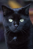 Black cat. Detailed portrait of cute black cat in natural lighting Royalty Free Stock Photos