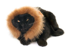 Black cat disguised Stock Images