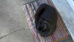 Black cat stock video footage