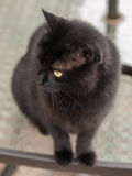 Black Cat. Black domestic cat with yellow eyes on glass table outdoors staring into the distance Stock Photography