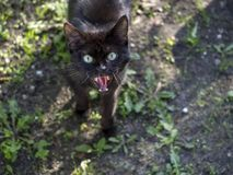 Black cat don`t like to be close. But it is hungry and want from you food stock image