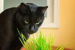 Black cat eating green grass at home. A pet eats oats sprouts. Natural hairball treatment for cats. Black cat with green eyes. Indoors royalty free stock photography