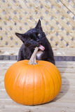 Black Cat Eating a Pumpkin Royalty Free Stock Images