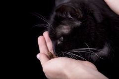 Black cat eats Stock Image