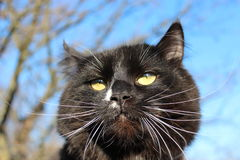 Black cat with evil sight. Black cat with with evil sight on blue sky background Royalty Free Stock Images