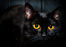 Black cat eyes. She's staring at you. Promises bad luck, but it's only in your head Royalty Free Stock Images