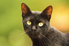 Black cat face. Portrait of beautiful domestic animal looking at the camera Royalty Free Stock Photo