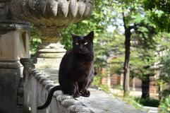 Black cat with fangs on a stone fence stock photos