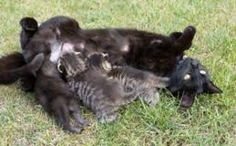 Black cat feeding her three little kittens stock images