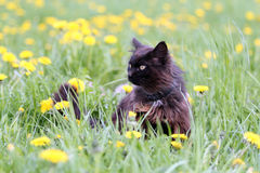 Black cat in flowers Stock Photography