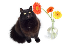 Black cat and flowers. Isolated Royalty Free Stock Photography