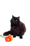Black cat and flowers. Isolated Royalty Free Stock Photos