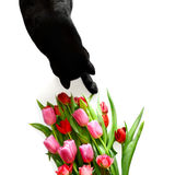 Black cat with flowers. Black cat with bouquet of red tulips and roses on white background royalty free stock images