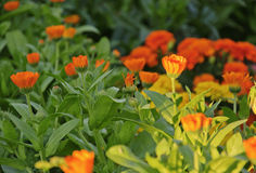 The flowers of calendula. On the flower-bed, sunlight Royalty Free Stock Photos